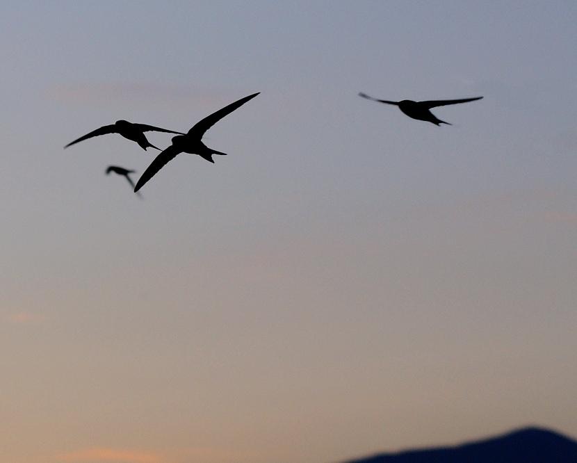Volo Di Rondine Accesa La Mente E Leggero Il Cuore